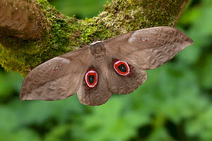 Saturniid moth (Lobobunaea  phaedusa) male, La Lope National Park, Gabon - Robert  Thompson