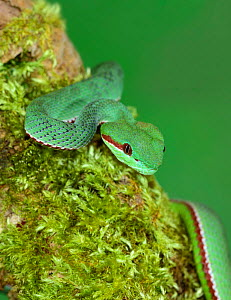 Pope's pit viper (Trimeresurus popeorum) native to northern India, Southeast Asia, and parts of Indonesia.  -  Robert  Thompson