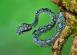 Sri Lankan pitviper (Trimeresurus trigonocephalus) captive, endemic to Sri Lanka.  -  Robert  Thompson