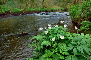 Wood anemone (Anemone nemorosa) by river,  Co. Armagh, Northern Ireland.  -  Robert  Thompson
