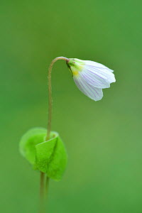 Wood sorrel (Oxalis acetosella) Co. Armagh, Northern Ireland. - Robert  Thompson
