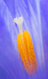 Crocus flower (Crocus sp) close up of stigma and pistil.  -  Robert  Thompson