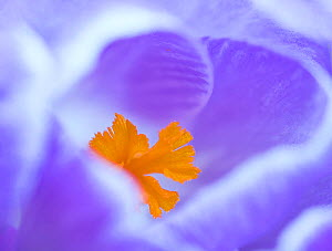 Crocus flower (Crocus sp) stigma - close up. - Robert  Thompson