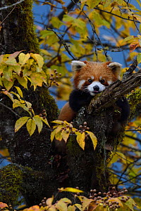 Red panda  (Ailurus fulgens) in tree, Laba He National Nature Reserve, Sichuan, China - Staffan Widstrand / Wild Wonders of China