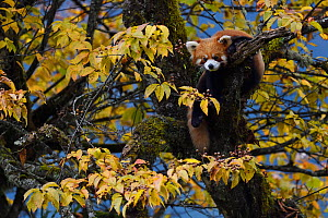 Red panda or Lesser panda (Ailurus fulgens) in the humid montane mixed forest, Laba He National Nature Reserve, Sichuan, China - Staffan Widstrand / Wild Wonders of China