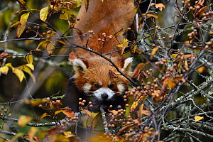 Red panda (Ailurus fulgens) in the humid montane mixed forest, Laba He National Nature Reserve, Sichuan, China - Staffan Widstrand / Wild Wonders of China