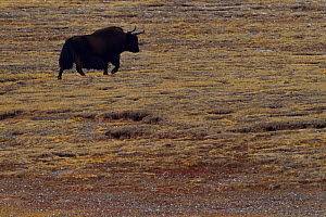 Wild yak, (Bos mutus), Keke Xili, Changtang,Tibetan Plateau, Qinghai, China - Staffan Widstrand / Wild Wonders of China