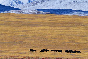 Wild yak herd  (Bos mutus) Keke Xili, Changtang,Tibetan Plateau, Qinghai, China. - Staffan Widstrand / Wild Wonders of China