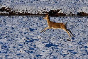 Tibetan gazelle or Goa (Procapra picticaudata), leaping in snow,  Keke Xili, Changtang, Tibetan Plateau, Qinghai, China - Staffan Widstrand / Wild Wonders of China