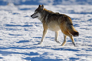 Tibetan wolf (Canis lupus) in snow, Keke Xili, Changtang, Tibetan Plateau, Qinghai, China - Staffan Widstrand / Wild Wonders of China