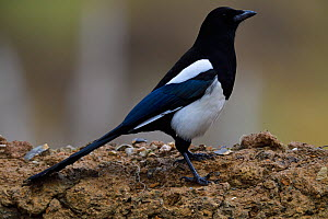 Oriental magpie (Pica serica) near Yushu, Tibetan Plateau, Qinghai, China  -  Staffan Widstrand / Wild Wonders of China