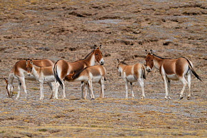 Asian wild ass (Equus kiang) herd in wetlands near Madoa, Tibetan Plateau, Qinghai, China - Staffan Widstrand / Wild Wonders of China