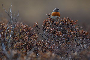 Robin accentor (Prunella rubeculoides), Tibetan Plateau, Qinghai, China  -  Staffan Widstrand / Wild Wonders of China