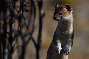 Altai or Mountain weasel (Mustela altaica), Tibetan Plateau, Qinghai, China - Staffan Widstrand / Wild Wonders of China