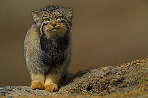 Pallas's cat (Otocolobus manul) Tibetan Plateau, Qinghai, China - Staffan Widstrand / Wild Wonders of China