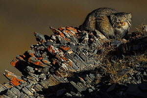 Pallas's cat (Otocolobus manul) Tibetan Plateau, Qinghai, China. Highly commended in the MontPhoto Competition 2018.  -  Staffan Widstrand / Wild Wonders of China