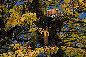 Red panda (Ailurus fulgens) Laba He National Nature Reserve, Sichuan, China - Staffan Widstrand / Wild Wonders of China