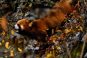 Red panda (Ailurus fulgens) feeding on berry, Laba He National Nature Reserve, Sichuan, China - Staffan Widstrand / Wild Wonders of China