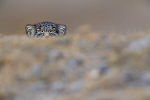 Pallas's cat (Otocolobus manul) peering,Tibetan Plateau,Qinghai, China - Staffan Widstrand / Wild Wonders of China