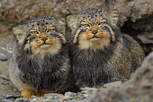 Pallas's cat (Otocolobus manul), two sitting side by side, Qinghai, China - Staffan Widstrand / Wild Wonders of China