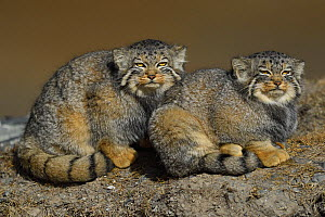 Pallas's cat (Otocolobus manul) two sitting side by side, Tibetan Plateau, Qinghai, China - Staffan Widstrand / Wild Wonders of China