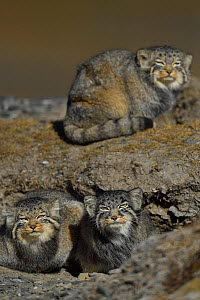 Pallas's cat (Otocolobus manul) three cats, Tibetan Plateau, Qinghai, China - Staffan Widstrand / Wild Wonders of China