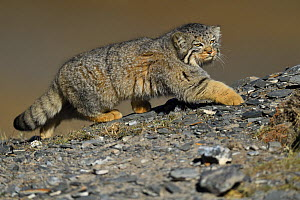 Pallas's cat (Otocolobus manul), Qinghai, China - Staffan Widstrand / Wild Wonders of China