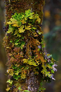 Tree lungwort (Lobaria pulmonaria) growing on tree in humid montane mixed forest, Laba He National Nature Reserve, Sichuan, China  -  Staffan Widstrand / Wild Wonders of China