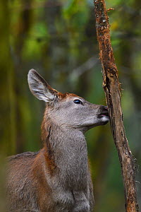 Red deer (Cervus elaphus) chewing on bark, in humid montane mixed forest, Laba He National Nature Reserve, Sichuan, China - Staffan Widstrand / Wild Wonders of China
