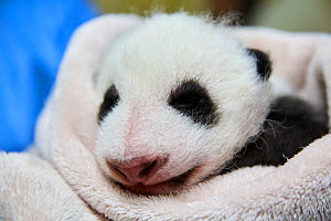 Giant panda (Ailuropoda melanoleuca) baby age one month, sleeping on blankets in incubator, Beauval Zoo, France. September 2017 - Eric Baccega