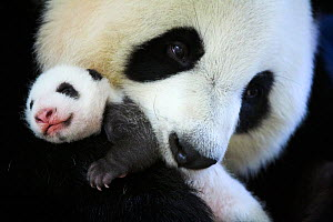 Giant panda (Ailuropoda melanoleuca) female, Huan Huan, holding baby age one month, Beauval Zoo, France.  September 2017. - Eric Baccega