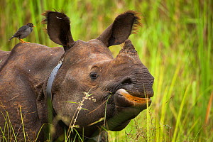 Indian rhinoceros (Rhinoceros unicornis) with radio collar, Manas National Park UNESCO World Heritage Site, Assam, India.  -  Sandesh  Kadur