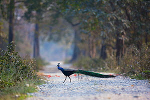 Indian peafowl (Pavo cristatus) peacock walking across path,Manas National Park UNESCO World Heritage Site, Assam, India.  -  Sandesh  Kadur