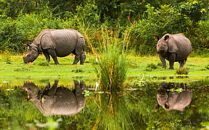 Indian rhinoceros (Rhinoceros unicornis) feeding, reflected in water, Manas National Park UNESCO World Heritage Site, Assam, India.  -  Sandesh  Kadur
