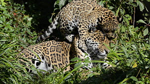 Jaguar (Panthera onca) cub playing on its mother's back, aged five months. Captive, native to Central and South America.  -  Edwin Giesbers