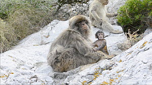 Barbary macaque (Maccaca sylvanus) with baby, Gibraltar, UK, July.  -  Edwin Giesbers