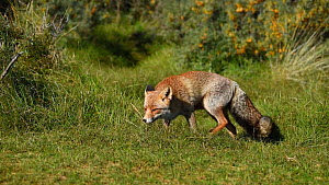 Red fox (Vulpes vulpes) sniffing and scent marking, Netherlands, August.  -  Edwin Giesbers