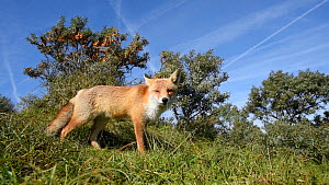 Wide-angle shot of a Red fox (Vulpes vulpes) hunting in long grass, Netherlands, August.  -  Edwin Giesbers