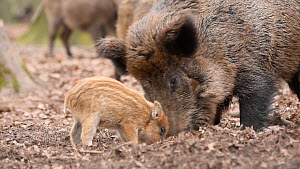 Wild boar (Sus scrofa) and piglet searching for food, piglet starts suckling, Germany, January. Captive.  -  Edwin Giesbers
