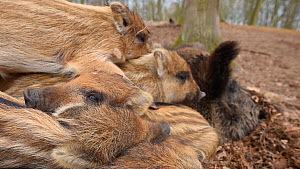 Close-up of a litter of Wild boar (Sus scrofa) piglets sleeping with their mother, Germany, January. Captive.  -  Edwin Giesbers