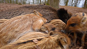 Close-up of a litter of Wild boar (Sus scrofa) piglets sleeping on top of their mother, Germany, January. Captive.  -  Edwin Giesbers