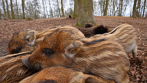 Close-up of a litter of Wild boar (Sus scrofa) piglets sleeping on top of their mother, with another piglet joining, Germany, January. Captive.  -  Edwin Giesbers