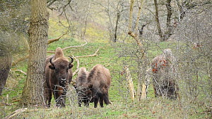 Juvenile European bison (Bison bonasus) playing, with adults nearby, Zuid-Kennemerland National Park, Netherlands, February.  -  Edwin Giesbers