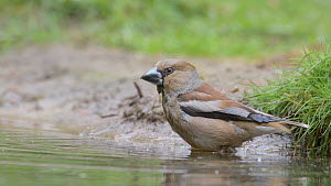Hawfinch (Coccothraustes coccothraustes) bathing in water, Netherlands, May.  -  Edwin Giesbers