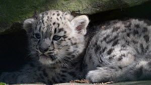 Snow leopard (Panthera uncia) cub. Captive, occurs in the mountain ranges of Central and South Asia.  -  Edwin Giesbers