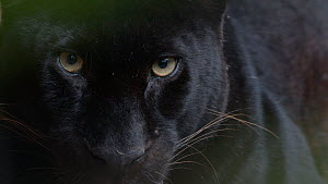 Portrait of a melanistic Leopard (Panthera pardus), opening and closing eyes. Captive.  -  Edwin Giesbers
