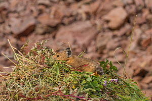 Pika (Ochotona princeps) on hay pile, in Bridger National Forest,  Wyoming, USA. August.  -  Jeff Foott