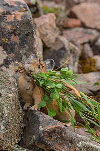 Pika (Ochotona princeps)  bringing vegetation to hay pile, in Bridger National Forest,  Wyoming, USA, August.  -  Jeff Foott