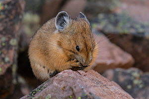 Pika (Ochotona princeps) grooming, Bridger National Forest,  Wyoming, USA. August.  -  Jeff Foott