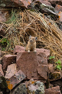 Pika (Ochotona princeps)  at hay pile, in Bridger National Forest,  Wyoming, USA. July.  -  Jeff Foott